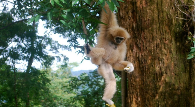 Flying gibbon